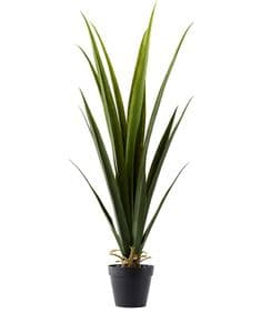 Green cordyline in pot