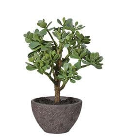 Money Tree in pot