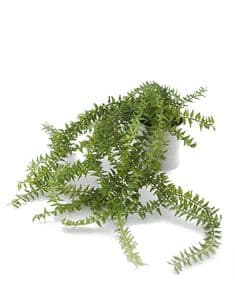 Potted fern moss plant